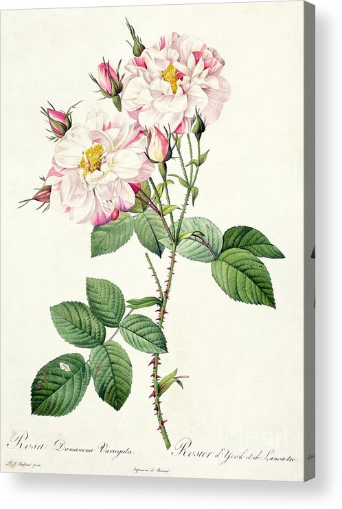 Rosa Acrylic Print featuring the drawing York And Lancaster Rose by Pierre Joseph Redoute
