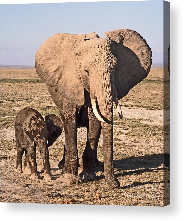 African Elephant Acrylic Print featuring the photograph African Elephant Mother And Calf by Liz Leyden