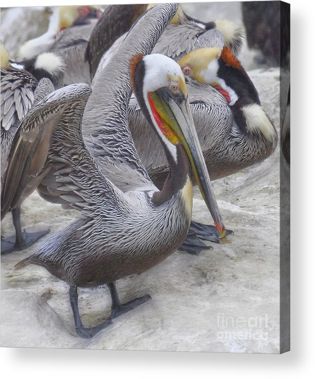 Pelicans Acrylic Print featuring the photograph The Gathering by Judy Grant