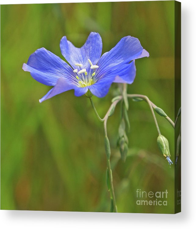 Flower Acrylic Print featuring the photograph Blue Petal Peace by Kelly Black