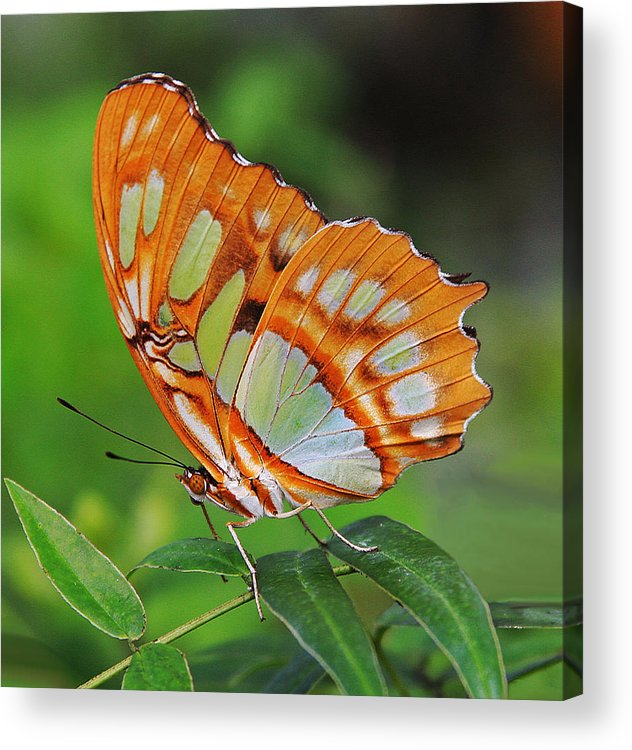 Malachite Butterfly Acrylic Print featuring the photograph Magnificently Majestic Malachite by Tamara Gibbs