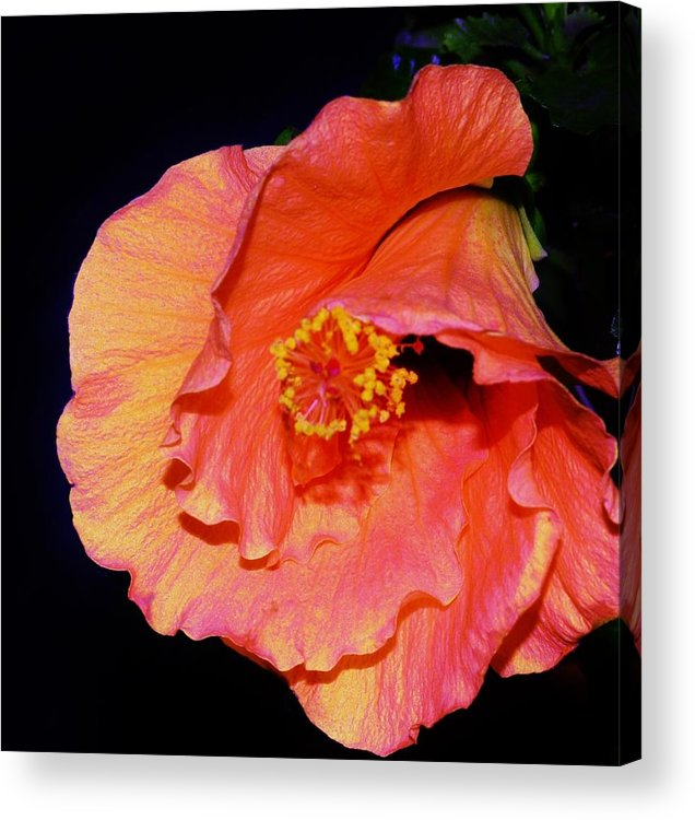 Hibiscus Acrylic Print featuring the photograph Sweet Dreams by Sharon Ackley