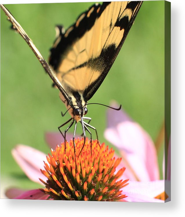Swallowtail Butterfly Acrylic Print featuring the photograph Tiger Swallowtail Butterfly by Krista Kulas