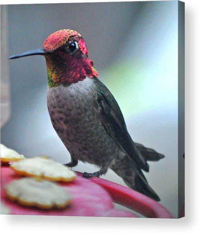 Animal Acrylic Print featuring the photograph Male Anna's Hummingbird On Feeder Perch by Jay Milo