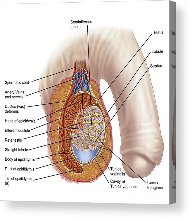 Anatomy Of Male Testis Acrylic Print by Stocktrek Images