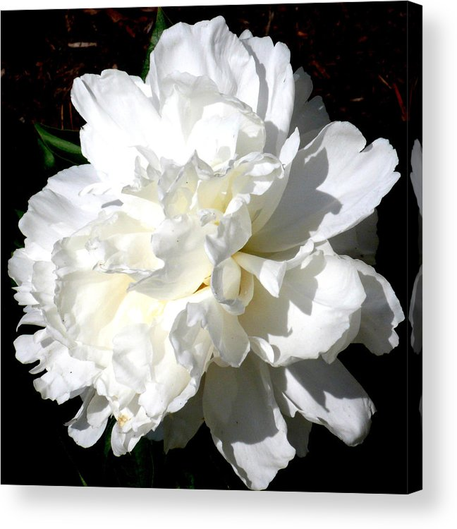 Peony Acrylic Print featuring the photograph White Peony by Katy Hawk