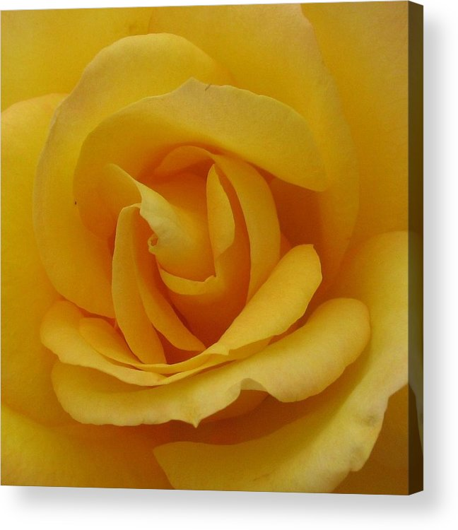 Rosr Acrylic Print featuring the photograph Layers Of Petals by Kathy Roncarati