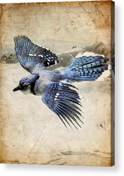 Blue Jay Acrylic Print featuring the digital art Blue Jay In Flight by Ray Downing