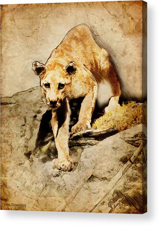 Puma Acrylic Print featuring the digital art Cougar Hunting by Ray Downing