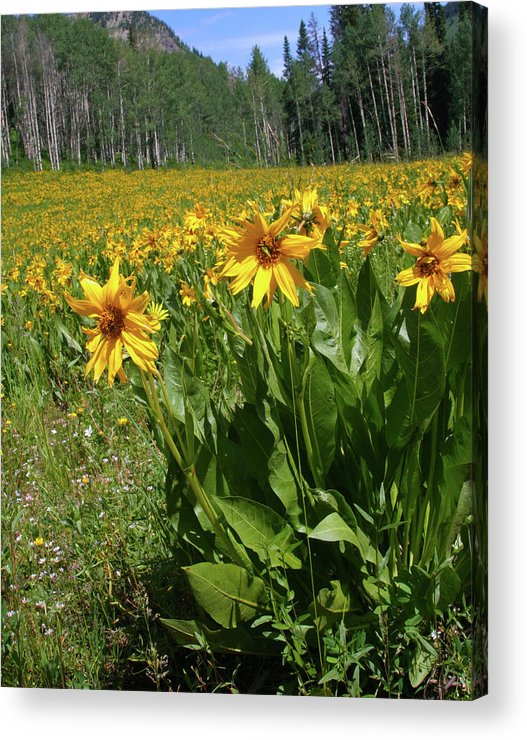 Beauty Acrylic Print featuring the photograph Mule Ear Sunflowers by Crystal Garner