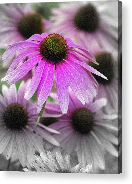 Flowers Acrylic Print featuring the photograph Coneflowers by Marty Koch