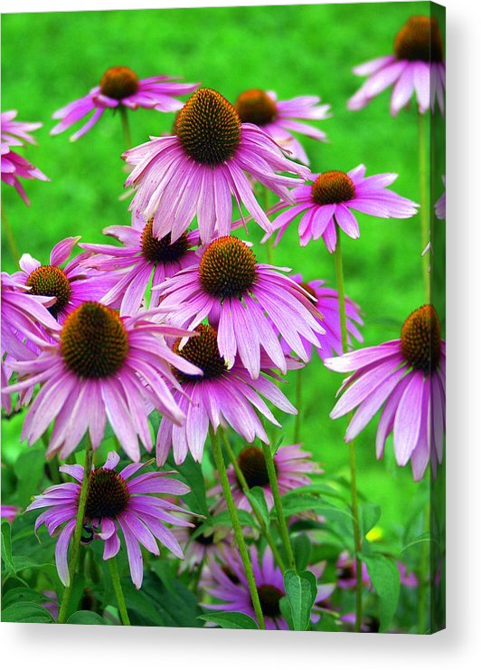 Flowers Acrylic Print featuring the photograph Pale Purple Coneflowers by Marty Koch