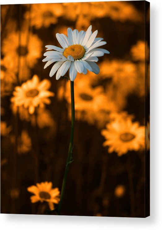 Daisy Acrylic Print featuring the photograph Standing Alone by Linda McRae