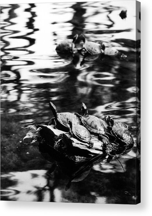 Turtles Acrylic Print featuring the photograph Sun Worshippers by Allan McConnell