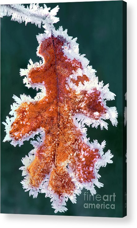 North America Acrylic Print featuring the photograph Black Oak Leaf Rime Ice Yosemite National Park California by Dave Welling