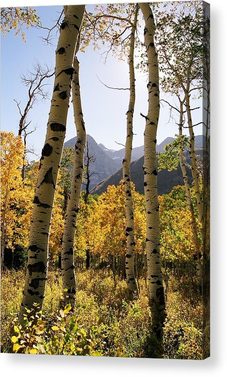 Trees Acrylic Print featuring the photograph 4 Aspens by Caroline Clark