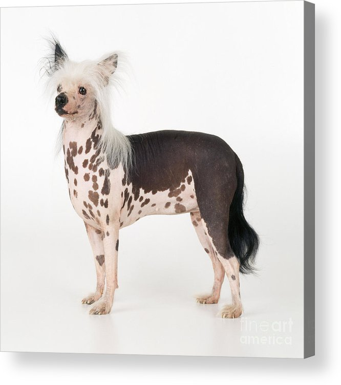Chinese Crested Acrylic Print featuring the photograph Chinese Crested Dog by John Daniels