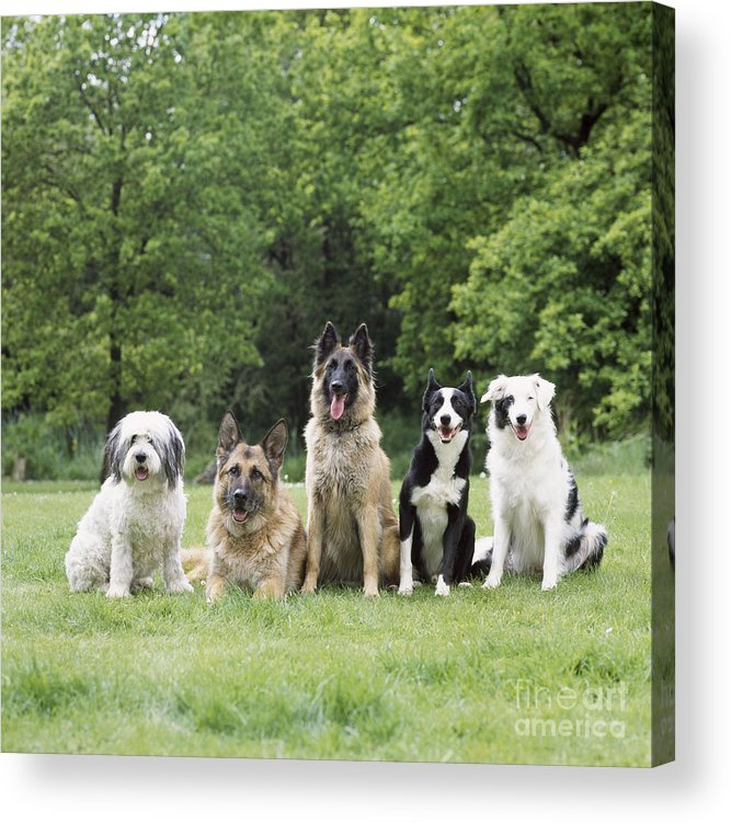 Dogs Acrylic Print featuring the photograph Dogs, Various Breeds In A Line by John Daniels