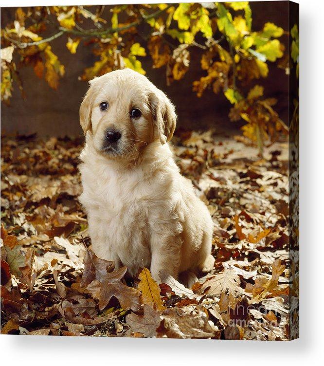 Golden Retriever Acrylic Print featuring the photograph Golden Retriever Puppy Dog In Fallen by John Daniels
