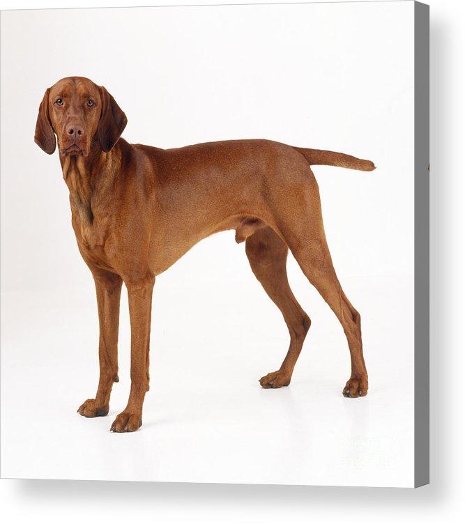 Vizsla Acrylic Print featuring the photograph Hungarian Vizsla Dog by John Daniels