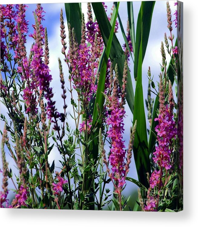 Purple Acrylic Print featuring the photograph Purple Wildflowers by Kathleen Struckle