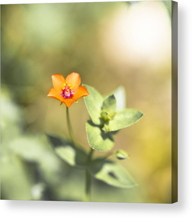 Nature Acrylic Print featuring the photograph Scarlet Pimernel by Steven Poulton