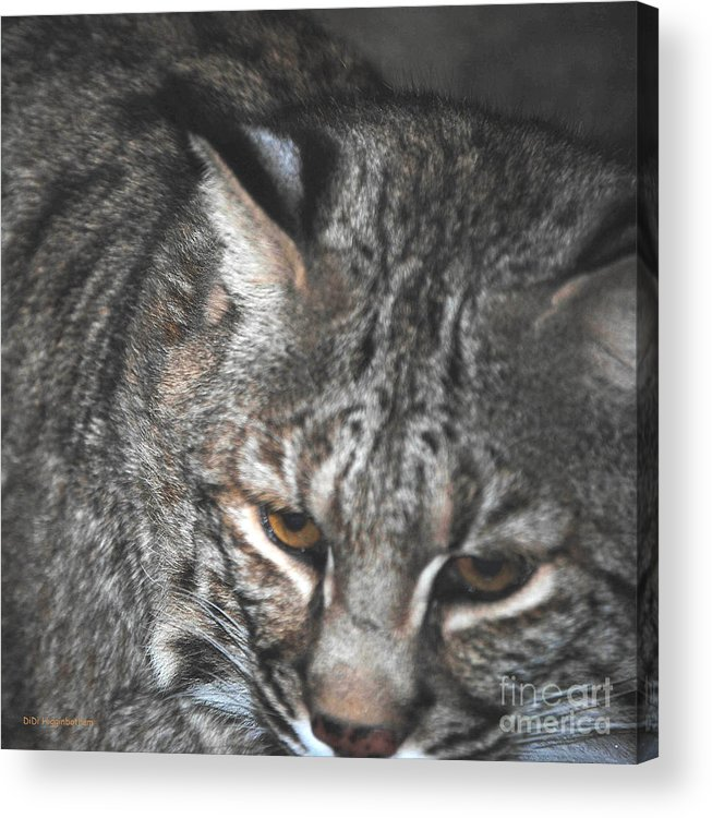 Bobcat Acrylic Print featuring the photograph Bobcat Love by DiDi Higginbotham