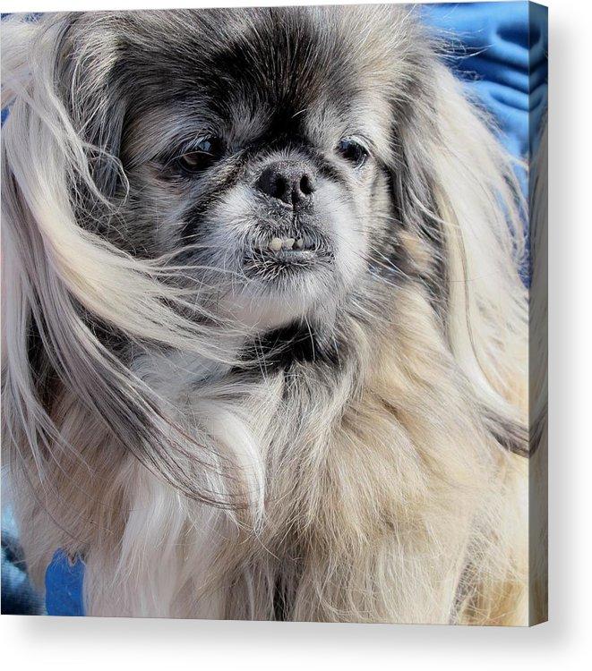 Dogs Acrylic Print featuring the photograph Pekingese Portrait by Valia Bradshaw