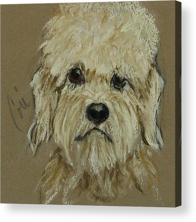Dandie Dinmont Terrier Acrylic Print featuring the drawing Dandie by Cori Solomon