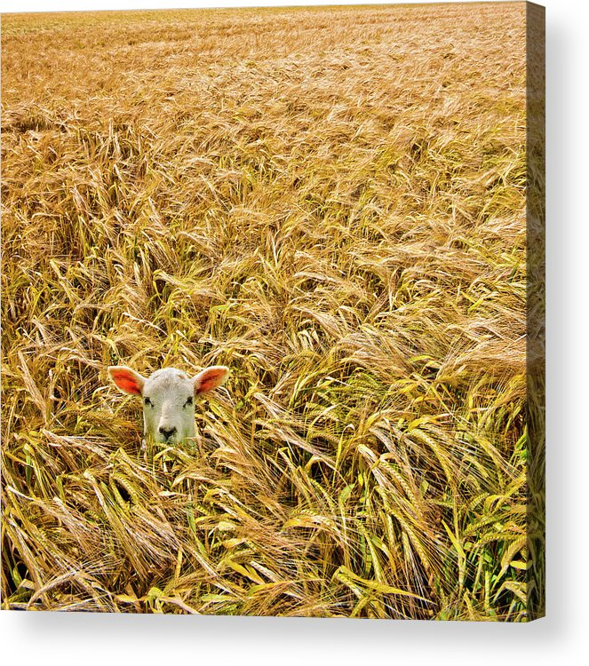 Sheep Acrylic Print featuring the photograph Lamb With Barley by Meirion Matthias