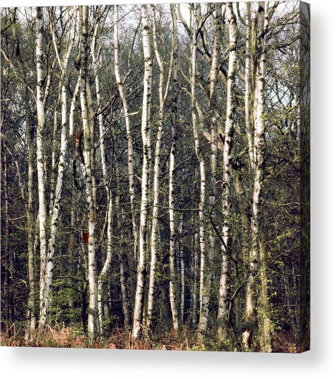 Silver Birch Acrylic Print featuring the photograph Silver Birch Trees by Daniel Blatt