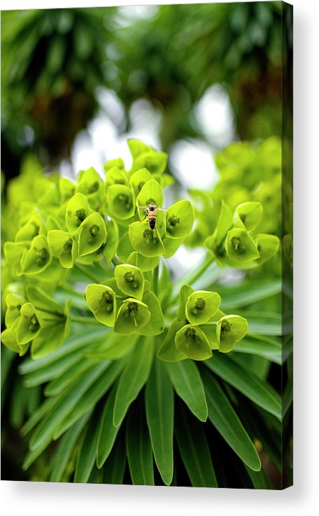 Insect Acrylic Print featuring the photograph Bee Pollenating Flower by Pete Starman
