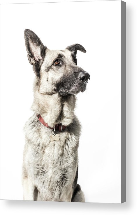 Pets Acrylic Print featuring the photograph German Shepherd - The Amanda Collection by Amandafoundation.org