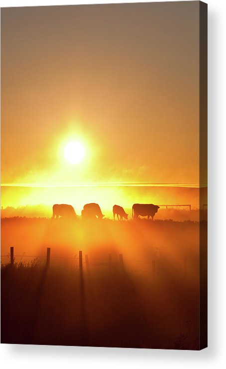 Scenics Acrylic Print featuring the photograph Silhouette Of Cattle Walking Across The by Imaginegolf