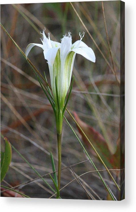 Wildflowers Acrylic Print featuring the photograph Pine Barrens Gentian by Matt Cormons