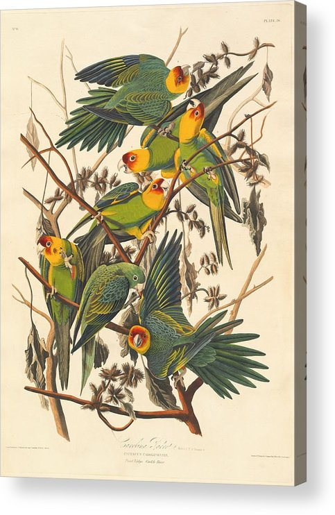 Audubon Acrylic Print featuring the drawing Carolina Parrot by Dreyer Wildlife Print Collections