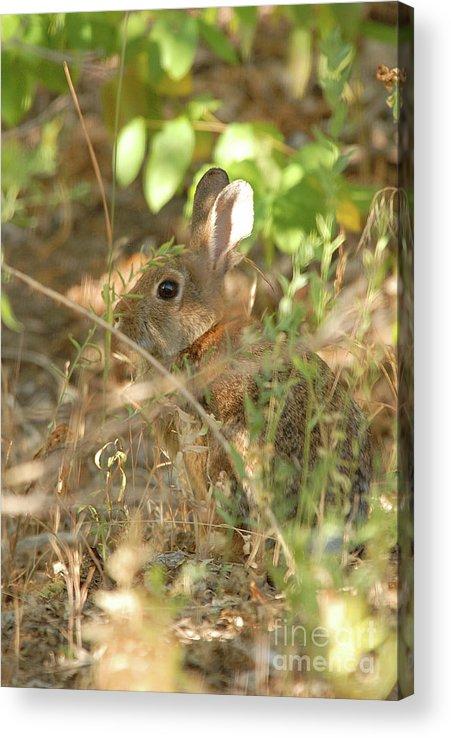 Wildlife Acrylic Print featuring the photograph Hidden Hare by Dennis Hammer