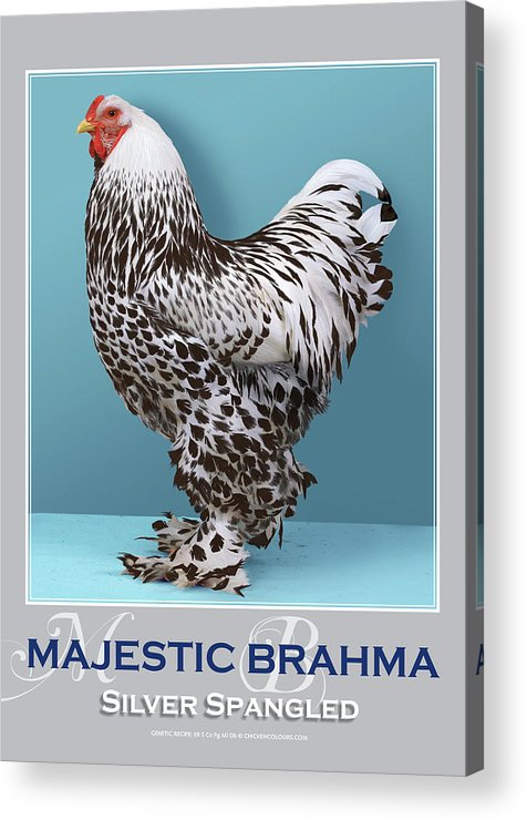 Poultry Acrylic Print featuring the digital art Majestic Brahma Silver Spangled by Sigrid Van Dort