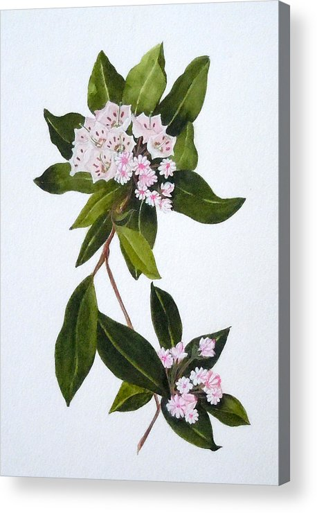 Mountain Laurel Acrylic Print featuring the painting Mountain Laurel by Jean Blackmer