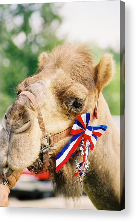 Camel Acrylic Print featuring the photograph Mr. Camel by Cheryl Martin