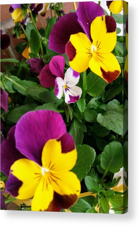 Pansies Acrylic Print featuring the photograph Pansies 3 by Valerie Josi