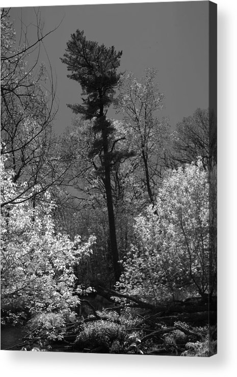 Pine Tree Acrylic Print featuring the photograph Pineing Away by Randy Oberg