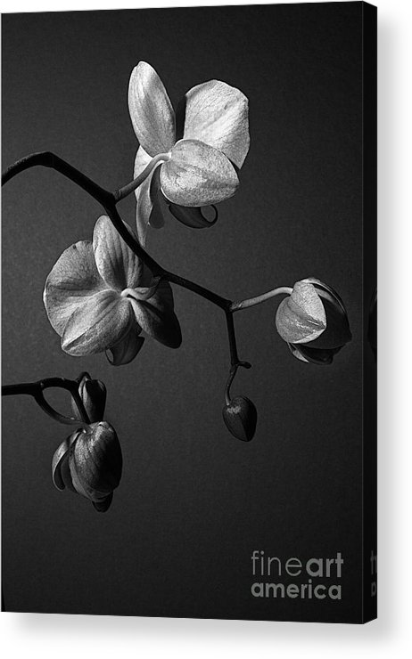 Orchid Acrylic Print featuring the photograph Scotopic Vision 3 - Orchid by Pete Hellmann