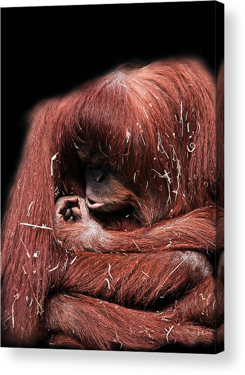 Orangutan Acrylic Print featuring the photograph Scrutiny by Lesley Smitheringale
