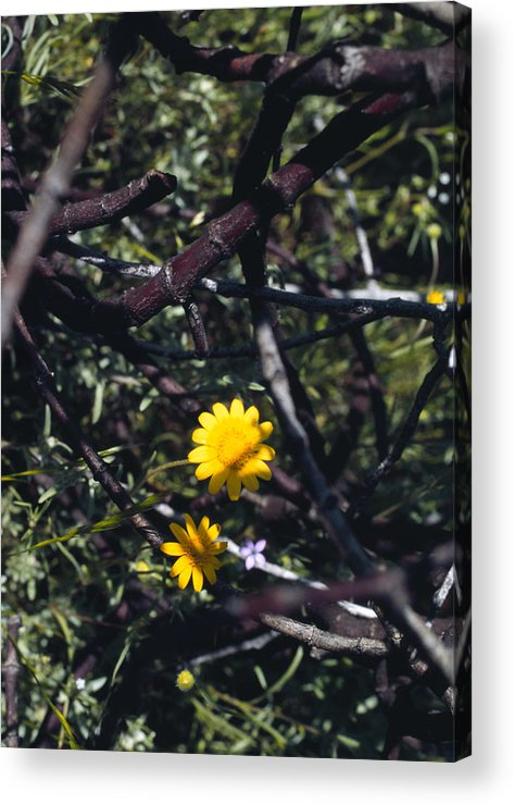 Flower Acrylic Print featuring the photograph The Prisoner by Randy Oberg