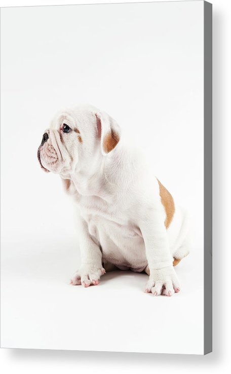 Pets Acrylic Print featuring the photograph Cute Bulldog Puppy On White Background by Peter M. Fisher