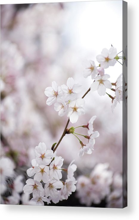 Celebration Acrylic Print featuring the photograph Cherry Blossoms by Ooyoo