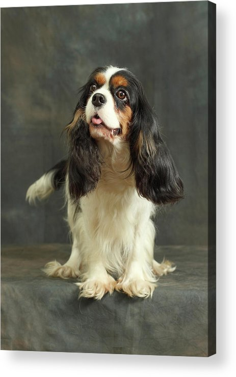 Pets Acrylic Print featuring the photograph Cavalier King Charles Spaniel by Sergey Ryumin