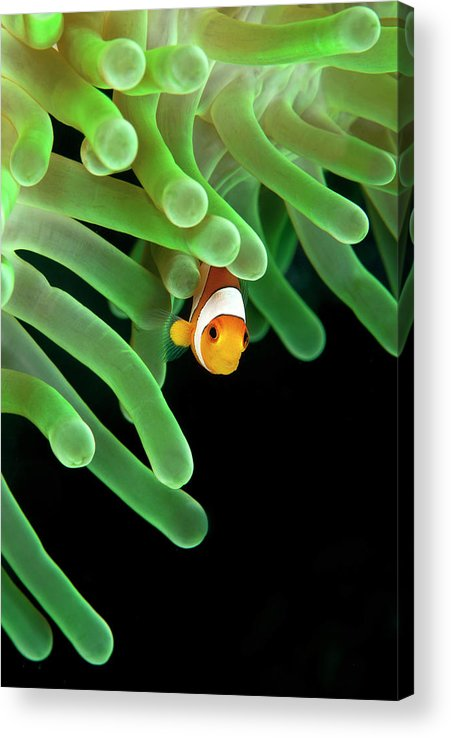 Underwater Acrylic Print featuring the photograph Clownfish On Green Anemone by Alastair Pollock Photography