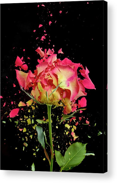 Black Background Acrylic Print featuring the photograph Exploding Rose by Don Farrall
